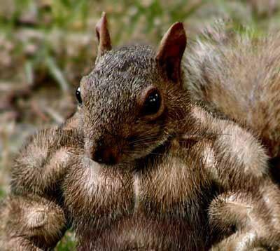 muscle-squirrel